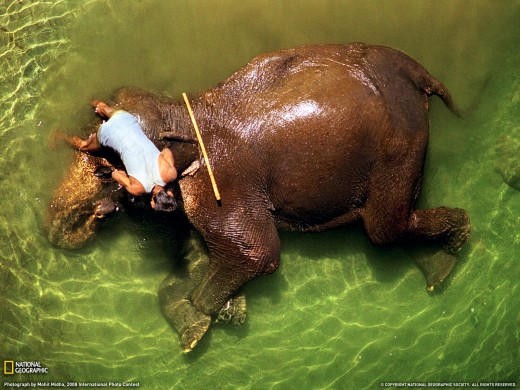 Mahout Bathing an Elephant