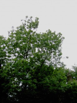 The Tall and Handsome Flowering Ash Tree.