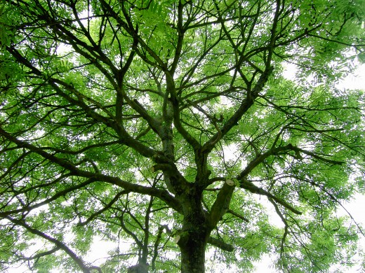 The foliage of the ash allows an open airy canopy that allows light to penetrate.Photograph by D.A.L.