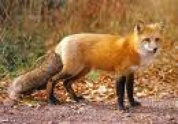 The Beautiful Adult Red Fox.