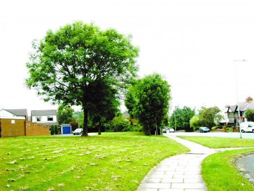 Ash trees are often planted on the grass verges of roadsides to enhance otherwise bare places.Photograph by D.A.L.