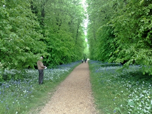 Bluebells in the Lime Walk