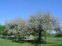 Many fruit tree blossoms are edible.
