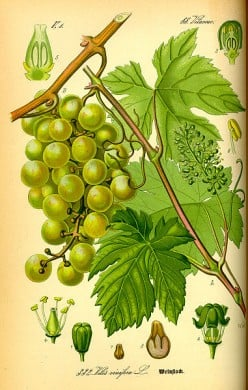 Beyond Olive Oil: Grapeseed  or Grape Seed Oil is Healthy for Frying Foods