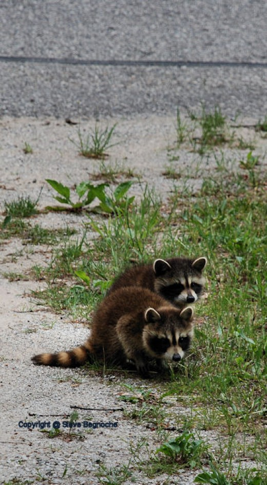 Baby raccoons paid a visit this afternoon.