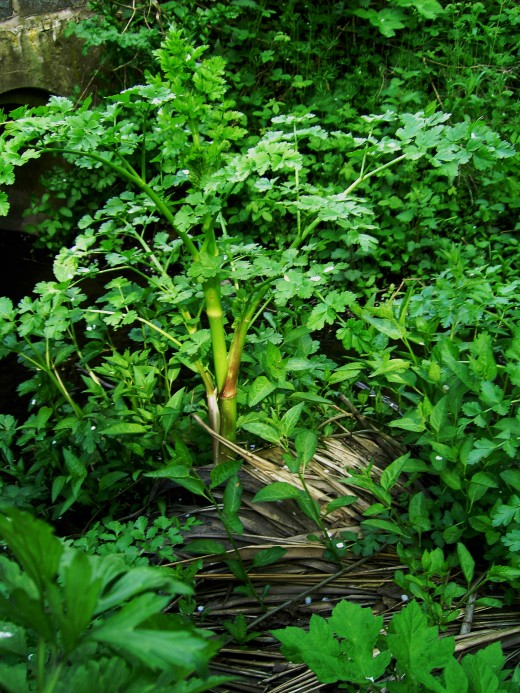 the new seasons growth of the hemlock water dropwort. Photograph by D.A.L.