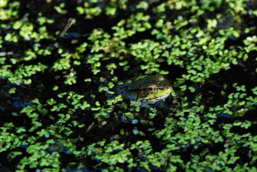 A leopard frog pokes its head through duckweed in the abandoned minnow pond.