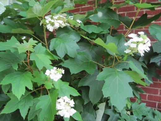 White Oak Leaf Hydrangea