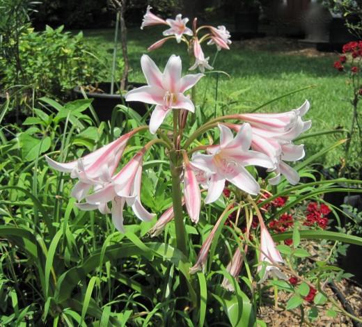Candy Stripe Lilies