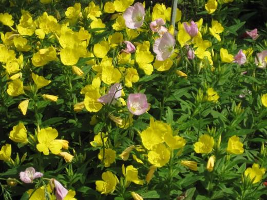 Yellow Primrose (Mostly)