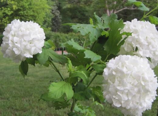 Snowball Bush