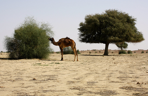 Camel grazing from the very scarce vegetation in Thar