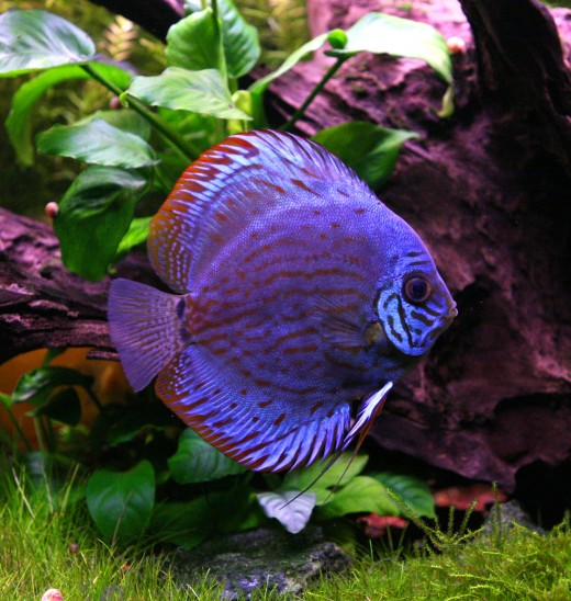 Discus fish hubpages for Discus fish types