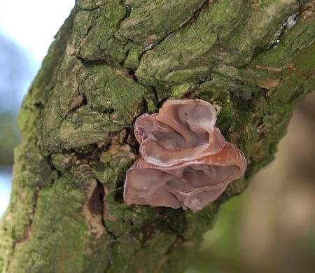 The jews ear fungus is associated with the older wood of elder. Photograph courtesy of Apus.