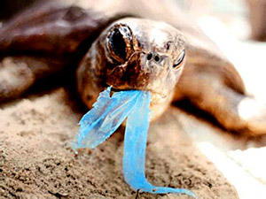 Sea Turtle eating plastic, thinks it's a jellyfish