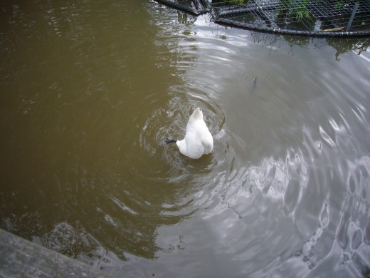 Swan standing on its head and giving us ladyjane1's Colon Smile? -   http://hubpages.com/hub/Ive-Been-Warned-Stay-Away-From-De-Greek
