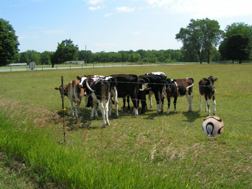 Erstwhile bovines form a 'wall' in anticipation of the dreaded penalty kick.