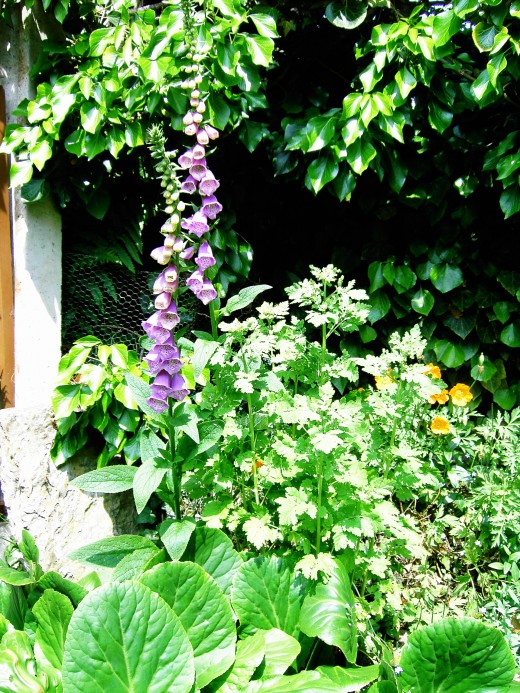 the common foxglove. Photograph by D.A.L.