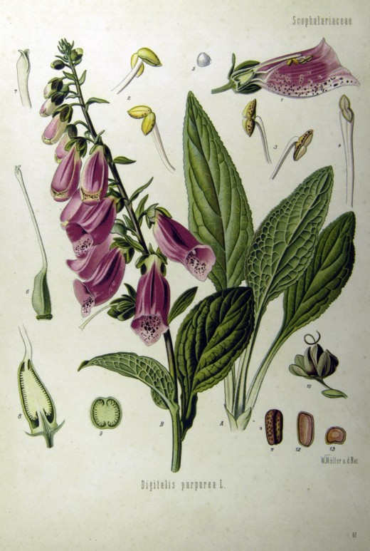 components of the foxglove.