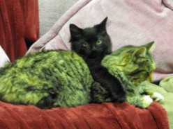 (all photos copyright of Scribenet @ HubPages) My kitten and Avatar with his mom...a family portrait.