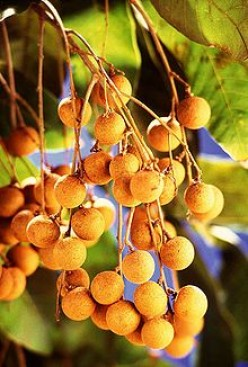 GOD'S FRUIT:  LONGAN HELPS HEART, LEG CRAMPS
