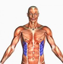 Human Anatomy - Oblique Muscles Highlighted in Blue