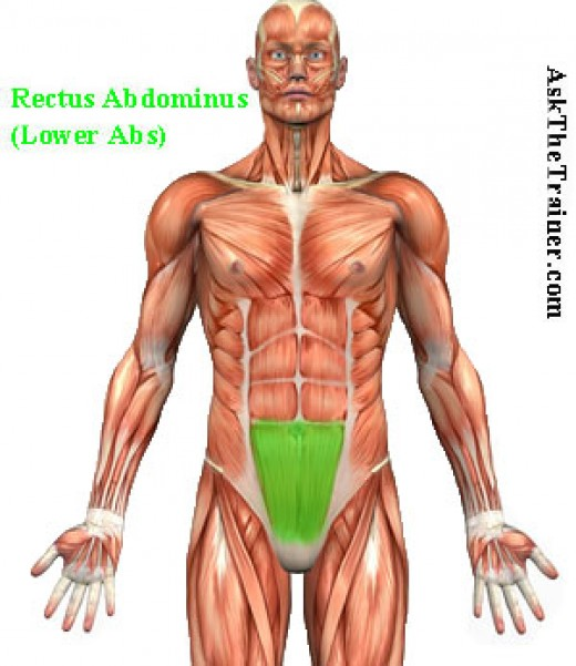 lower abdominal muscles highlighted in green on mail human body