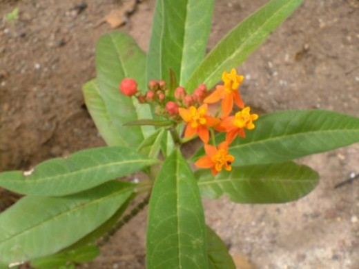 Scarlet or Tropical Milkweed