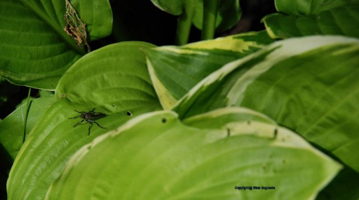 A fly rests on a hosta leaf.