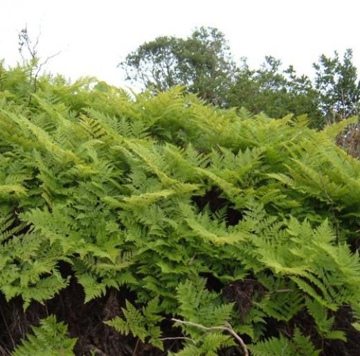 Ferns in El Tanque