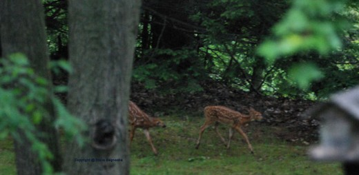 A pair of fawns emerged from the edge of the swamp.
