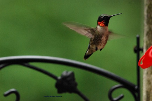 A male ruby-throated hummingbird hovers near a feeder.