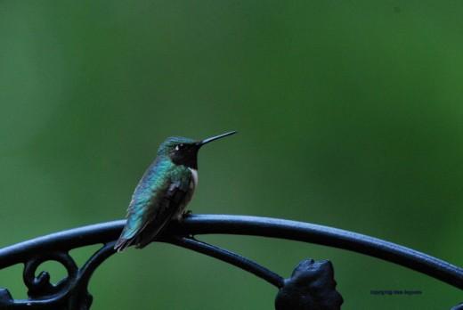 A female ruby-throated hummingbird sits near the feeder.