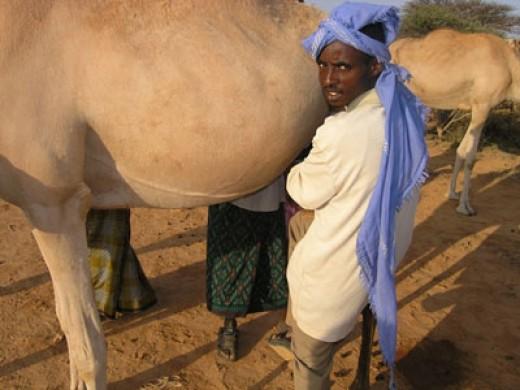Milking a she-camel