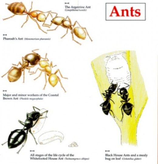 How To Get Rid Of Household Ants Naturally Without Pesticides