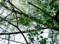 The Popular Poplar Trees-a Fascinating Family.