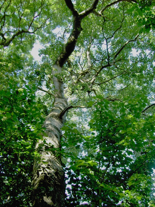 In damp woodland the canopy tends to be more columnar as they have to compete for space. Photograph by D.A.L.