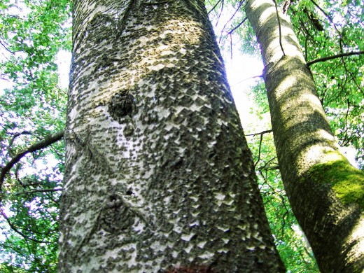 The characteristic dark diamond shaped markings on the bark of grey poplar. Photograph by D.A.L.