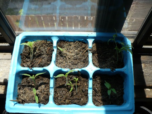 seedlings sprouting in a sunny window