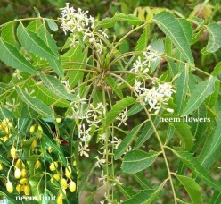 flowers and fruits of the neem tree