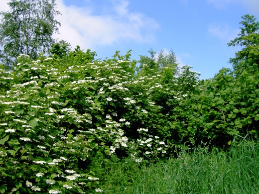 Guelder rose is impressive when growing together in numbers. Photograph by D.A.L.