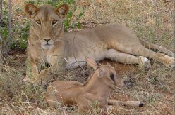 Hell's Gate - Game Park Safari – and Lioness Adopts Baby Oryx