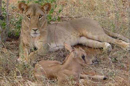 The Lioness That Adopted a Baby Oryx