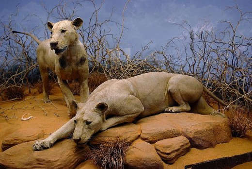 Man Eaters of Tsavo At Field Museum of Natural History in Chicago, Illinois. Image Credit: Wikimedia commons