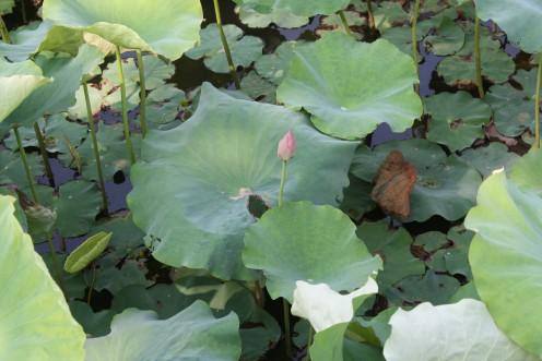 An early summer lotus bud.