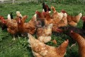 Chickens in the City, in Suburbia or in the Country;  Raising a small backyard flock!
