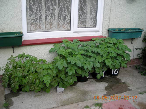 Potatoes Growing in containers.