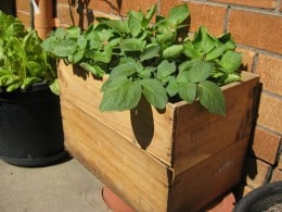 Potatoes Growing In A Wooden Container.