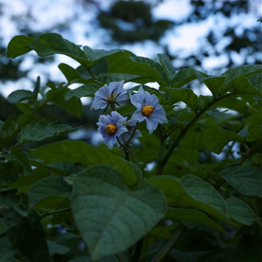 Potato Flowers. When your potatoes produce flowers you know that they are producing potatoes under the ground.