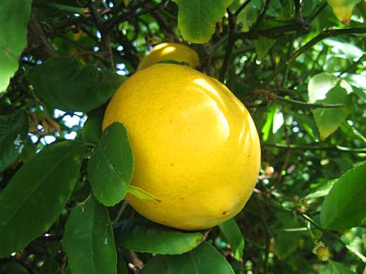 A Meyer lemon / Photo by E. A. Wright